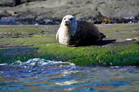 Common Seal, Loch Scavaig, Isle of Skye