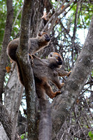 Red-fronted lemurs (Eulemur rufus) near the entrance to Maki Canyon, Isalo National Park