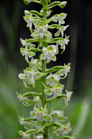 Large round-leaved orchid