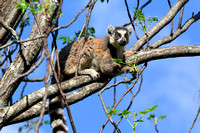 Ring-tailed lemur (Lemur catta) near the entrance to the Canyon of Rats, Isalo National Park