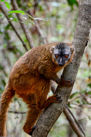 Red-fronted lemur (Eulemur rufus) near the entrance to Maki Canyon, Isalo National Park