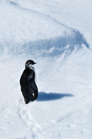 Juvenile emperor penguin near the Danger Islands