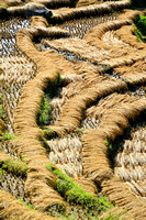 Harvested rice drying in the sun