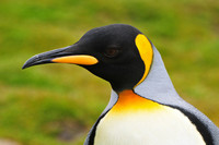King penguin, St. Andrew's Bay