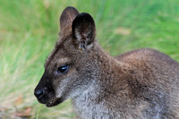 Bennett's wallaby, Cradle Mountain-Lake St. Clair National Park