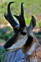 Pronghorn, Bryce Canyon National Park