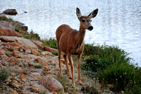 Mule deer, Lawn Lake, Rocky Mountain National Park