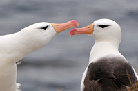 Black-browed albatross courtship display, Albatross Bay, New Island