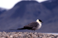 Long-tailed jaeger, Quttinirpaaq National Park