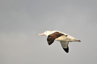 Wandering albatross, seen en route from the Falklands to South Georgia