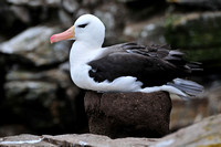 Black-browed albatross, Albatross Bay, New Island