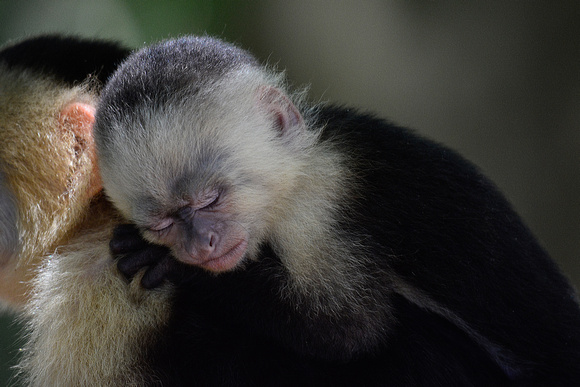A baby white-faced capuchin monkey on its mother's back, Manuel Antonio National Park
