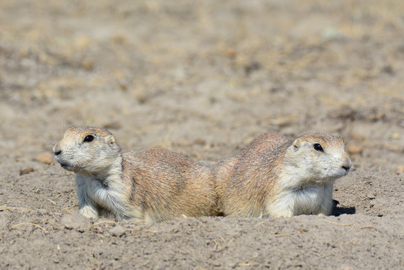 Black-tailed prairie dogs, West Block