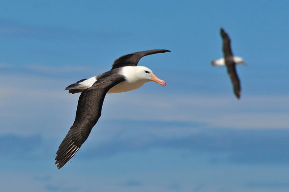 Black-browed albatross, Steeple Jason