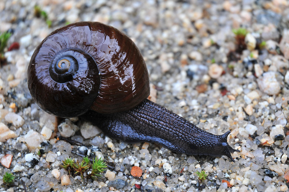 Carnivorous Snail (Powelliphanta), Heaphy Track