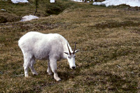 Mountain Goat, Enchantment Lakes, Alpine Lakes Wilderness