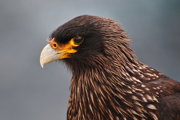 Striated caracara, Albatross Bay, New Island