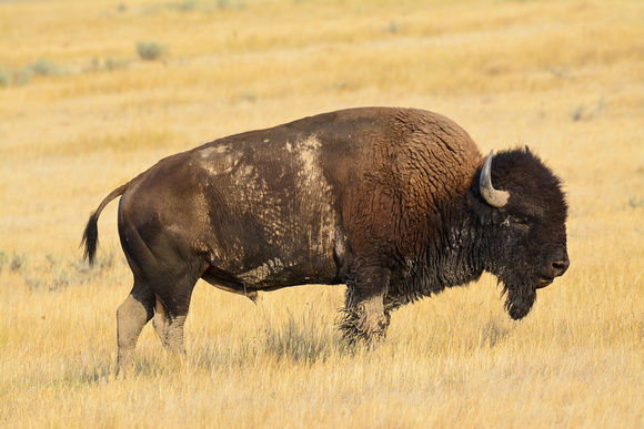 Plains bison, West Block