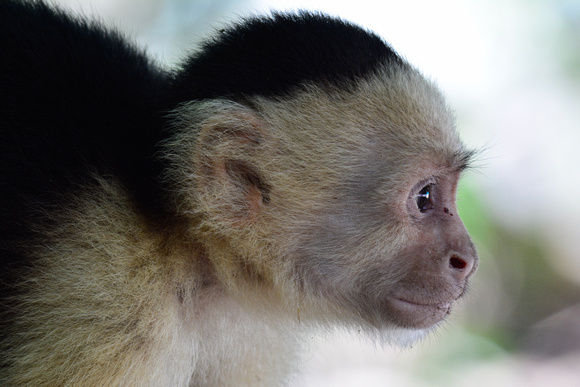 White-faced capuchin monkey, Manuel Antonio National Park