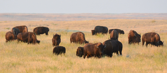 Part of a herd of plains bison, West Block