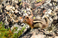 Golden-mantled ground squirrel, Sawtooth Wilderness